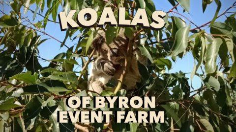 Bluesfest Koala Program